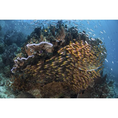 Golden Coral - Golden sweepers swim under a coral bommie in Raja Ampat Indonesia Canvas Art - Ethan DanielsStocktrek Images (17 x 12)
