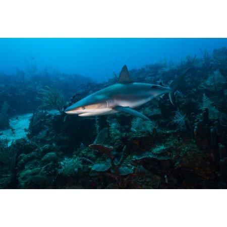 Rainbow Reef Shark - Reef shark swimming across a reef in St Croix US Virgina Islands Poster Print by Jennifer IdolStocktrek Images