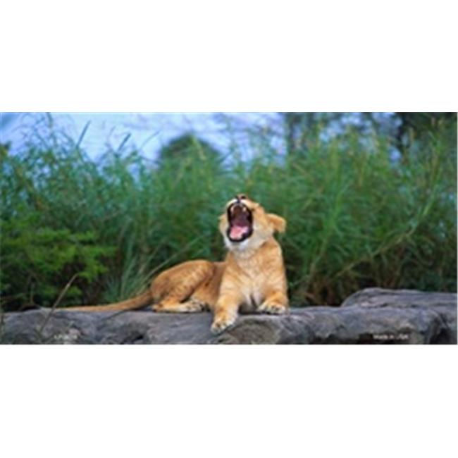 LP-3016 Yawning Lion License Plate Tags- Full Color Photography