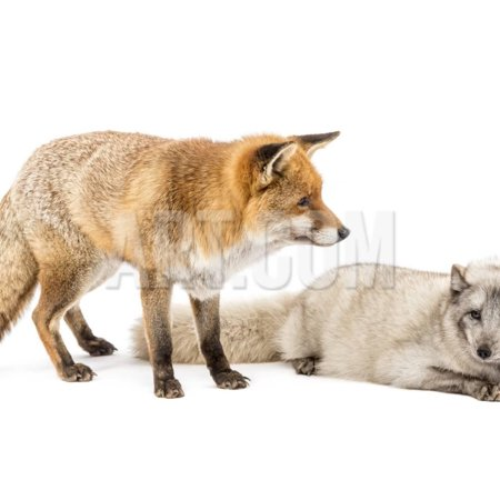 Red Fox, Vulpes Vulpes, Standing and Arctic Fox, Vulpes Lagopus, Lying, Isolated on White Print Wall Art By Life on White