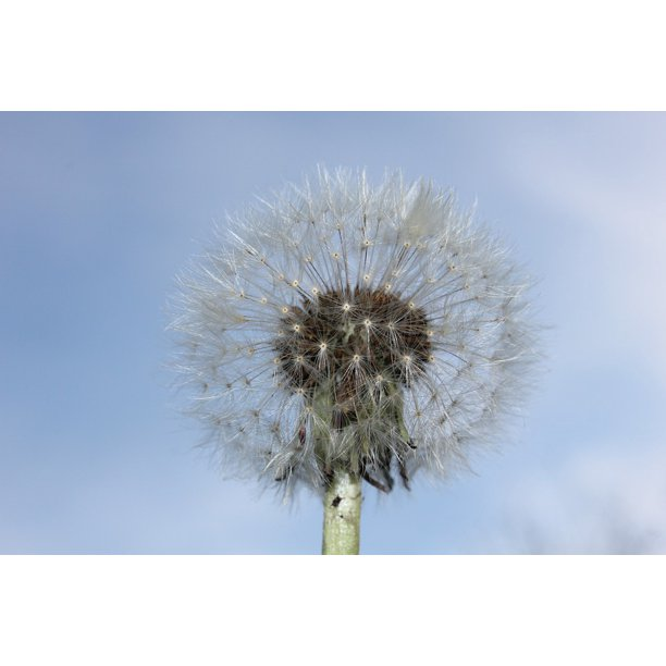 Skydandelion Ladysinblack B W B W Beauty: Canvas Print Heaven Blue Sky Nature Dandelion Faded