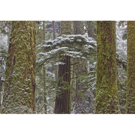 British Trees (Snow Covered Trees In Cathedral Grove Near Port Alberni Vancouver Island British Columbia PosterPrint)