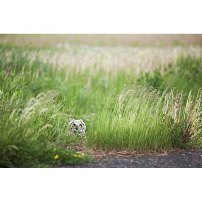 Posterazzi DPI1878123 Owl In The Grass - Thunder Bay, Ontario, Canada Poster Print, 19 x 12 - image 1 de 1