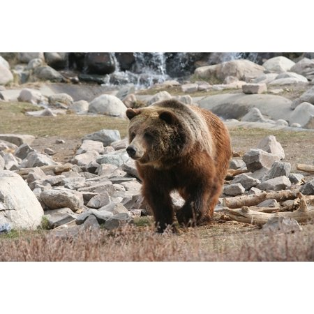 LAMINATED POSTER Grizzly Bear Yellowstone Animal Mammal Poster Print 24 x 36](Animal Posters)