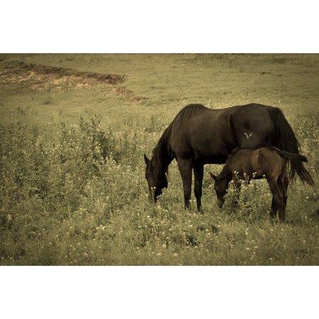 Canvas Print Horses Foal Filter Antique Black Horse Stretched Canvas 10 x 14
