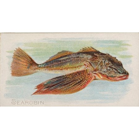 Sea Robin from the Fish from American Waters series (N8) for Allen & Ginter Cigarettes Brands Poster Print (18 x 24)