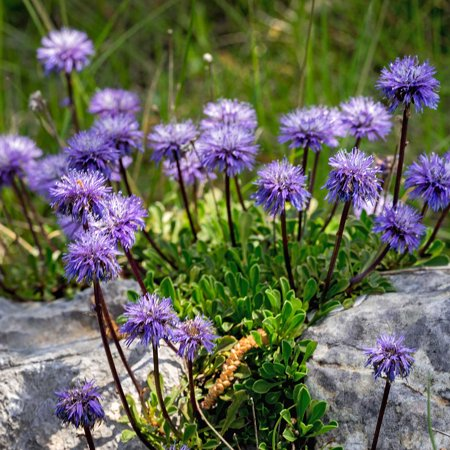 Scabiosa flower seeds blue note variety 100 seeds blue blooms scabiosa flower seeds blue note variety 100 seeds blue blooms perennial flower mightylinksfo