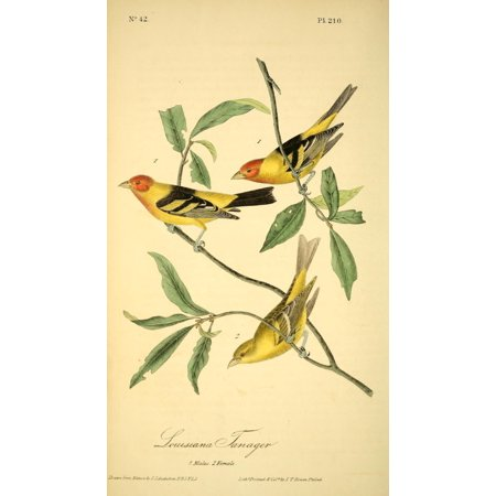 Birds of America 1844 Louisiana Tanager Canvas Art - JJ Audubon (18 x 24)