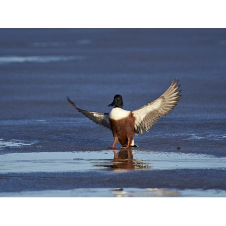 Northern Shoveler (Anas Clypeata) Male Landing on a Frozen Pond in the Winter Print Wall Art By James Hager - Ana Frozen
