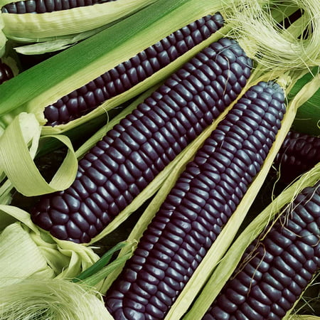 Hopi Blue Corn - Blue Hopi Corn Garden Seeds - 1 Lb - Non-GMO, Heirloom, Ornamental, Vegetable Gardening Seeds - Zea mays