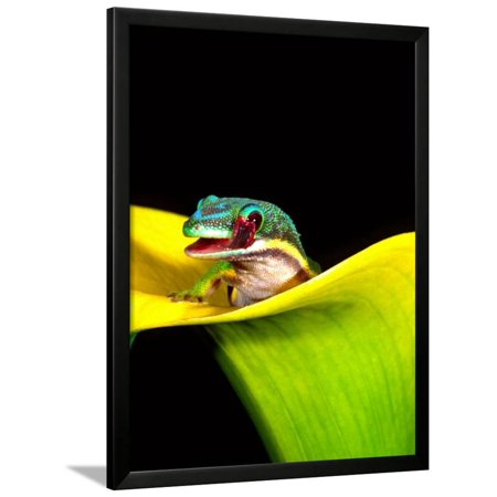 - Lined Day Gecko, Native to Madagascar Framed Print Wall Art By David Northcott