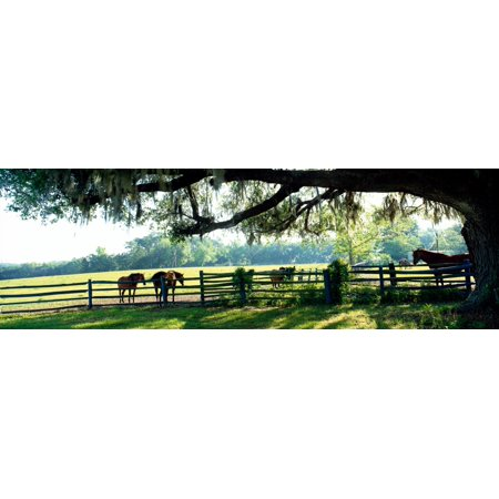 Horses in a ranch Hobeau Farms Barn Ocala Marion County Florida USA  Stretched Canvas - Panoramic Images (12 x 36)