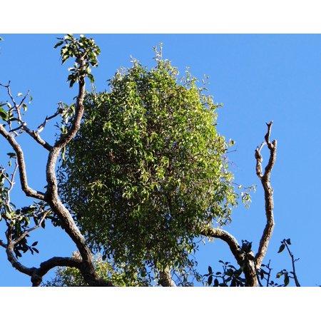 Canvas Print Sadhankeri Organic India Mango Tree Tree Stretched Canvas 10 x (Top 10 Organic Cosmetic Brands In India)