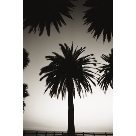 Silhouetted palm tree centered between other palm tree tops at dusk (black and white photograph) PosterPrint