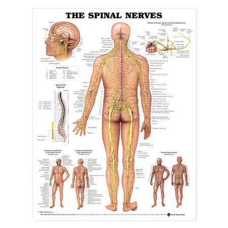 The Spinal Nerves Anatomical Chart-Laminated (Nerves Chart)