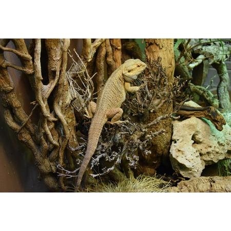 Bearded Dragon Terrarium (Peel-n-Stick Poster of Bearded Dragon Reptile Terrarium Poster 24x16 Adhesive Sticker Poster)