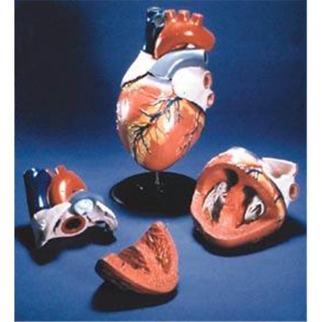 Olympia Sports 12899 Life-Sized Heart Model
