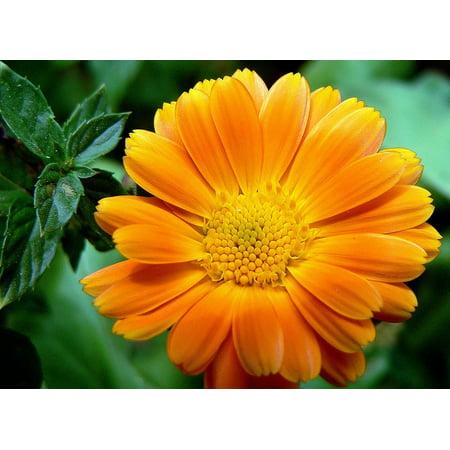 LAMINATED POSTER Petal Flower Orange Blooming Macro Poster Print 11 x 17