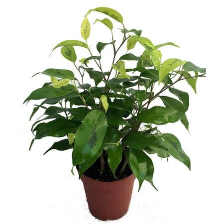 Neon Weeping Fig Tree - Ficus benjamina - Easy to Grow - 4