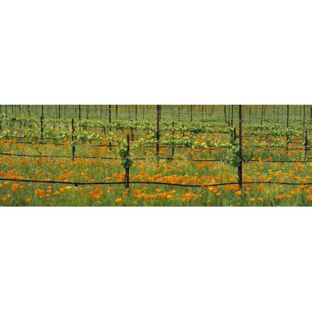 Agriculture - Wine grape vineyard in early Spring showing early foliage with poppies growing in the row middles  Santa Barbara County California USA Canvas Art - Timothy Hearsum  Design Pics (30 x 10)