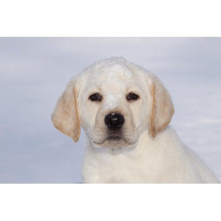 Labrador Retriever Puppy (10 Weeks Old) with Snow on Face Print Wall Art By Lynn M.
