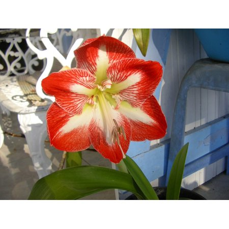 - Canvas Print Martinique Red Amaryllis Flower Stretched Canvas 10 x 14