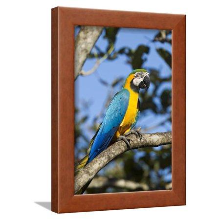 Green Macaw, Costa Rica Framed Print Wall Art ()