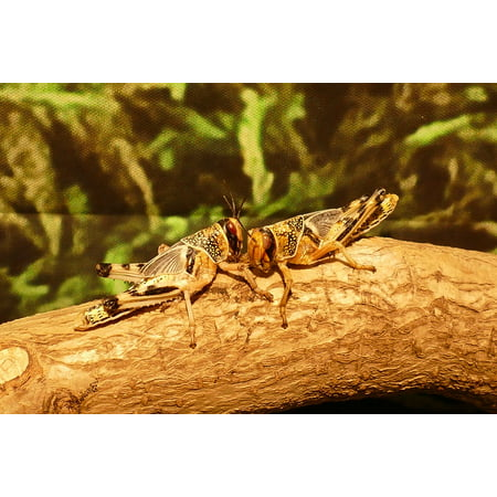 (Laminated Poster Bug Locust Wildlife Cricket Hoppers Insects Poster 24x16 Adhesive Decal)