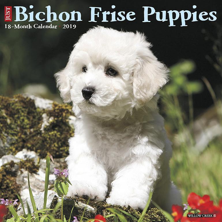 Bichon Frise Puppies 2019 Wall Calendar (Dog Breed Calendar) (Other)