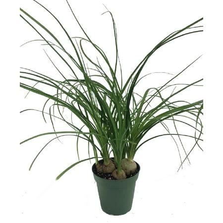 1507ba67e6c Ponytail Palm - 4