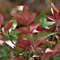 Obsession Nandina | Live Evergreen Shrub - Southern Living Plant Collection