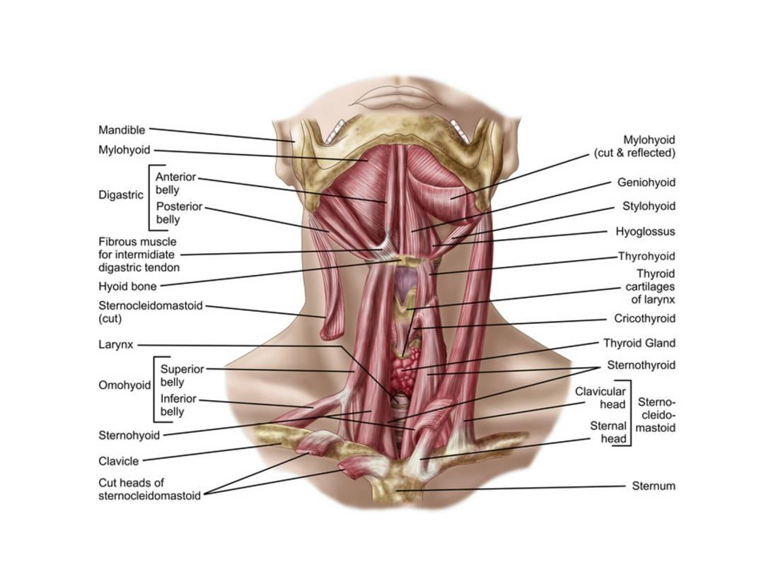 Anatomy of Human Hyoid Bone and Muscles, Anterior View Print ...