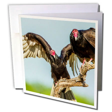 3dRose USA, Texas, Hidalgo County. Close-up of two turkey vultures on limb. - Greeting Cards, 6 by 6-inches, set of - Limb Set