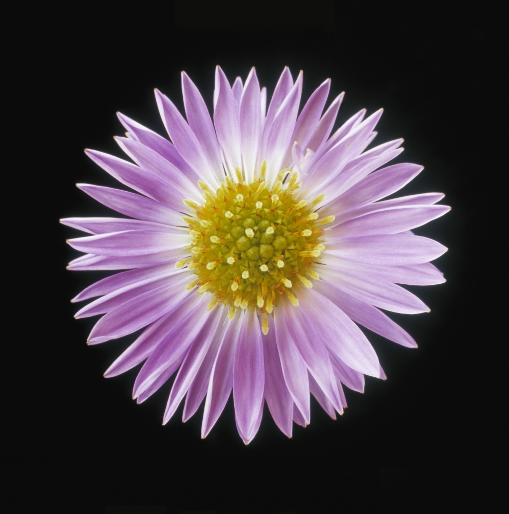 Gerber Daisy In Black Background Stretched Canvas - Darwin Wiggett  Design Pics (26 x 28)