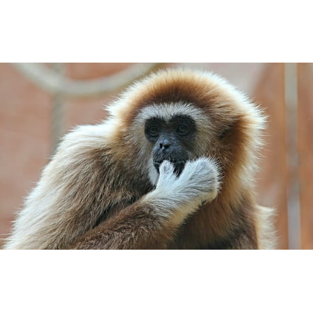 Canvas Print Gibbon Zoo Monkey White-handed Gibbon Ape Stretched Canvas 10 x - Gibbon Monkey