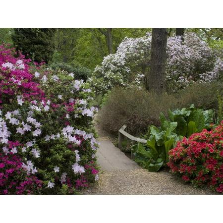 Azaleas and Rhododendrons, Isabella Plantation, Richmond Park, Richmond, Surrey, England, Uk Print Wall Art - Richmond Uk Halloween Events