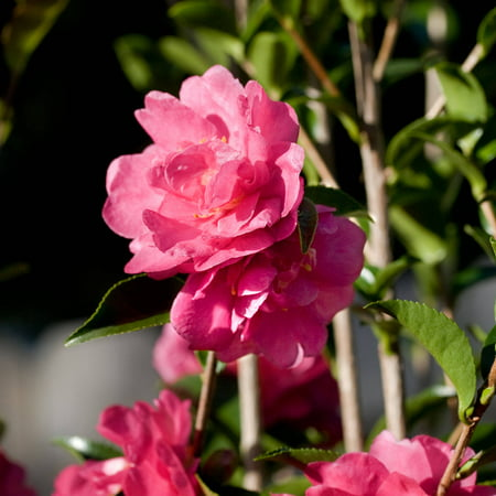 October Magic Rose Camellia | Pink Blooming Live Evergreen Shrub - Southern Living Plant