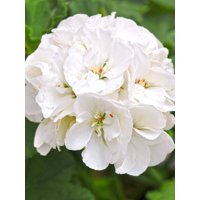 Expert Gardener 3qt Geranium Zonal Black And White