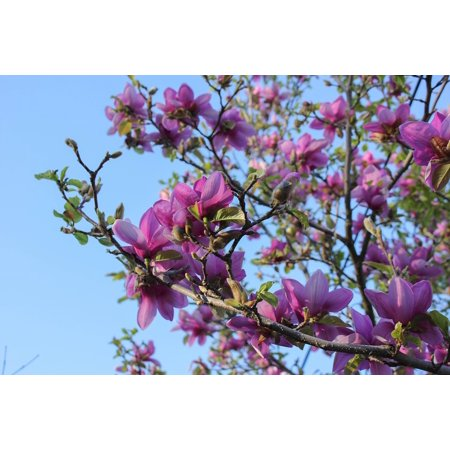 Laminated Poster Springtime Magnolia Saucer Magnolia Tree Poster