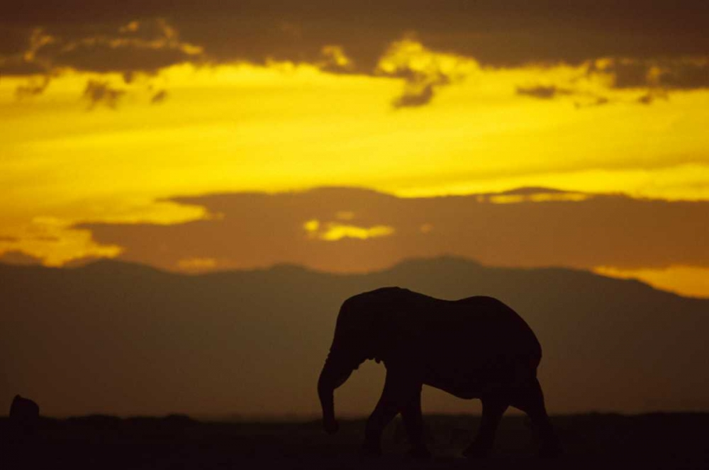 African Elephant silhouetted at sunset Amboseli National Park Kenya Poster Print by Gerry Ellis by Bentley Global Arts Group