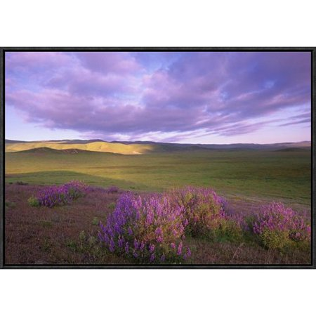 Global Gallery Large Leaved Lupine In Bloom Overlooking Grassland  Carrizo Plain National Monument  California By Tim Fitzharris Framed Photographic Print On Canvas