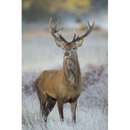Red Deer (Cervus Elaphus) Stag, Portrait on Frosty Morning, Richmond Park, London, England Print Wall Art By Danny (Best Place To See Deer In Richmond Park)