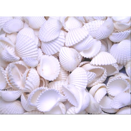 "Set of 50 Tiny White Ark Shells Seashell 1/2""-3/4"" (13-19mm) Beach Wedding Decor Crafts Hobby"