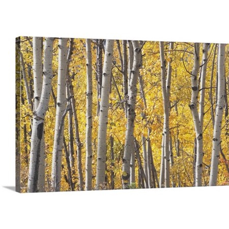 Great Big Canvas Michael Interisano Premium Thick Wrap Canvas Entitled Aspen Trees In Autumn  Kananaskis Country  Alberta  Canada