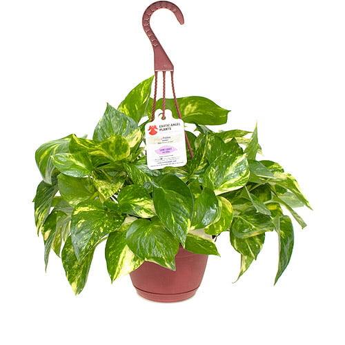 Exotic Angel Plants 6 6 Hanging Basket G Walmart Com