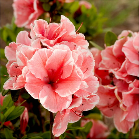 Pink Azalea Plant - Encore Azalea Autumn Sunburst| Bicolor (Pink and White) Blooms - Live Evergreen Shrub