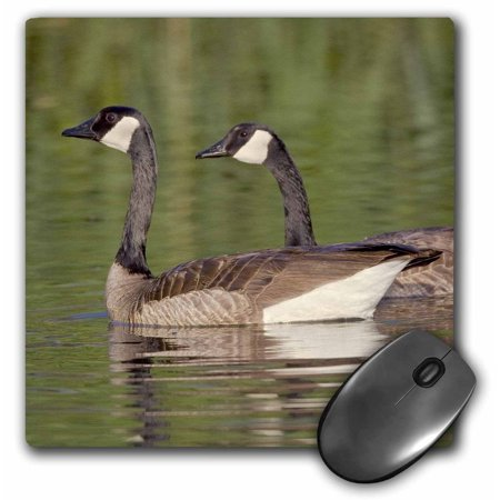 3dRose Canada geese, Bird Viewing Preserve, Nevada - US29 MPR0071 - Maresa Pryor, Mouse Pad, 8 by 8 inches
