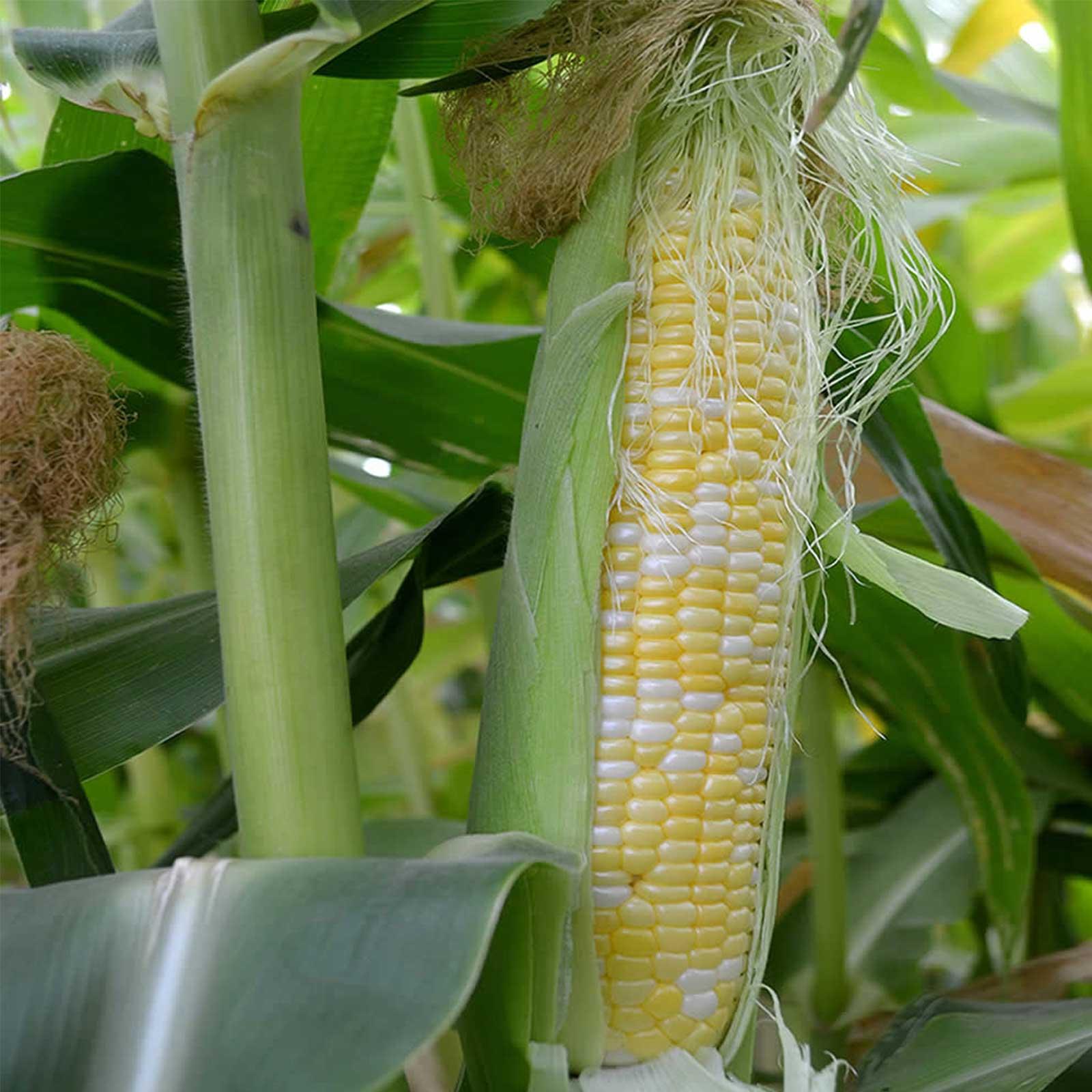 Peaches & Cream Hybrid Corn Garden Seeds - 50 Lb Bulk - Non-GMO Vegetable Gardening Seeds - Yellow & White Sweet (SE) Corn Kernels