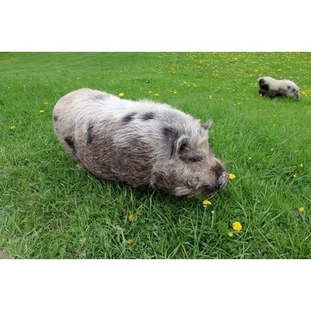 canvas print animal pig meadow stretched canvas 10 x 14 (Pig Picture)