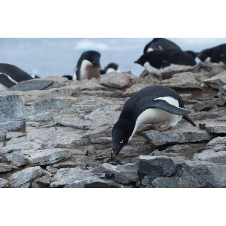 Adelie Penguin Gathering a Pebble Print Wall Art By Joe - Penguins Pebble Mate